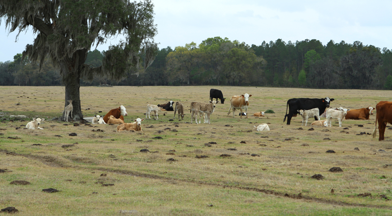 Pasture with Grazing Cows